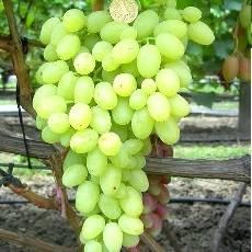 Новые и старые сорта винограда (часть 2)