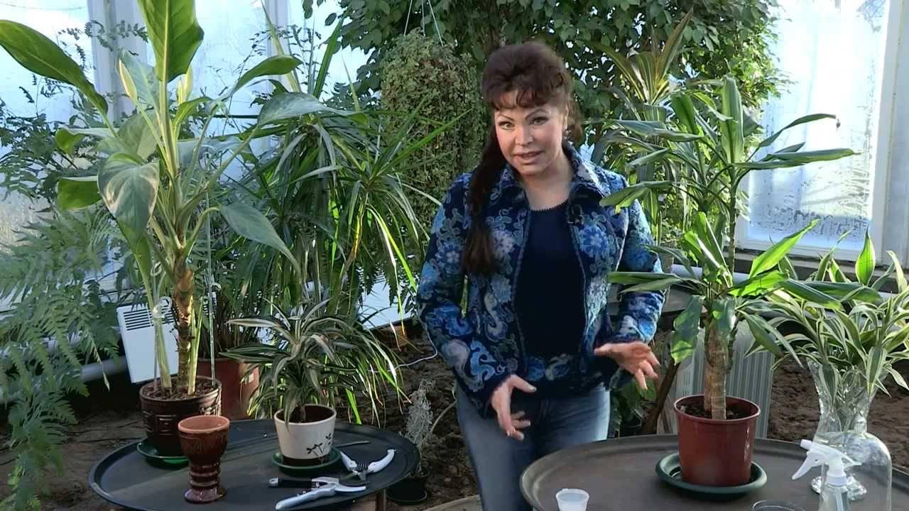 Размножение драцены верхушечными и стеблевыми черенками