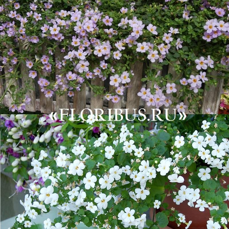 Цветок бакопа ампельная — от семян до кашпо