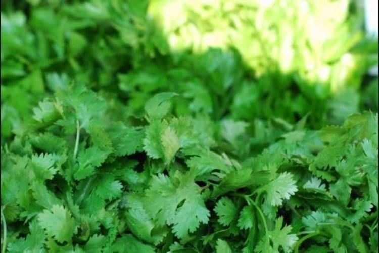 Выращивание кинзы из семян в открытом грунте, сроки посева, уход