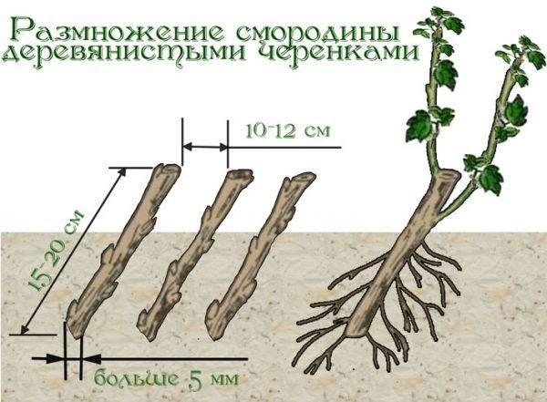 Как размножить красную смородину