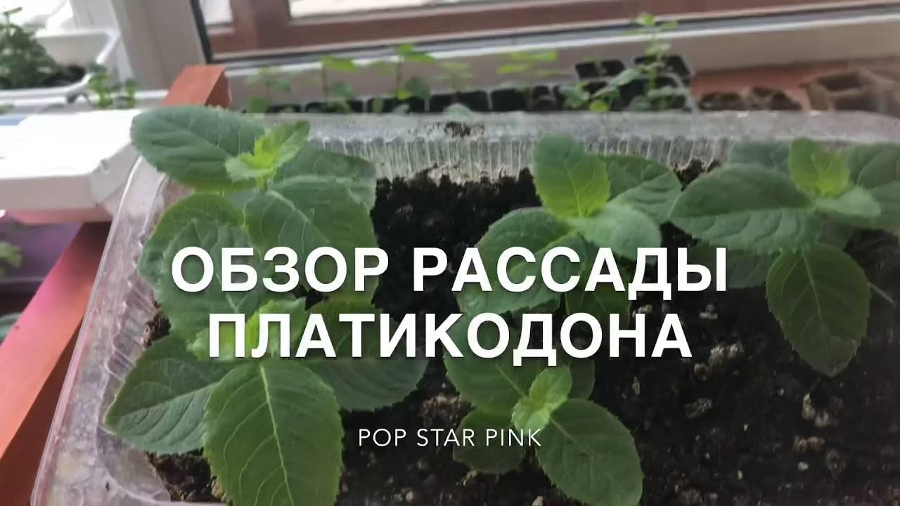 Можно ли платикодон выращивать как комнатное растение