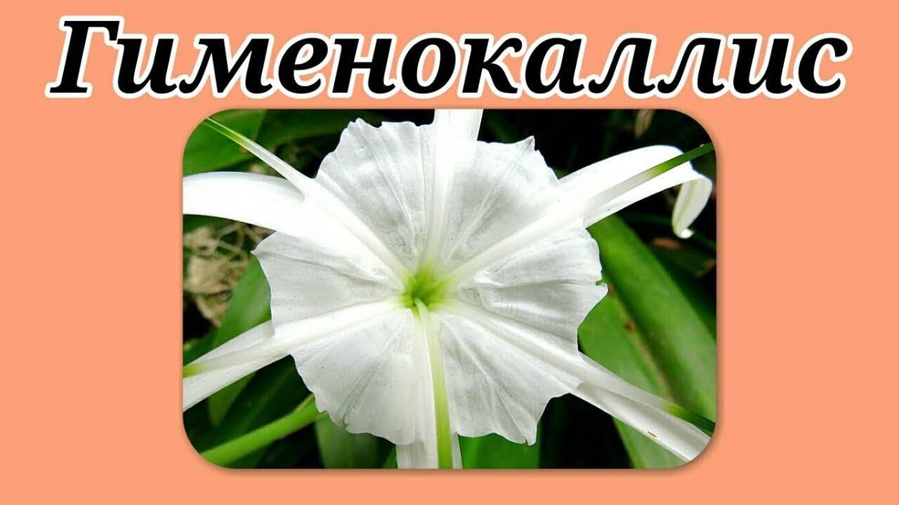 Выращивание необыкновенного цветка гименокаллиса