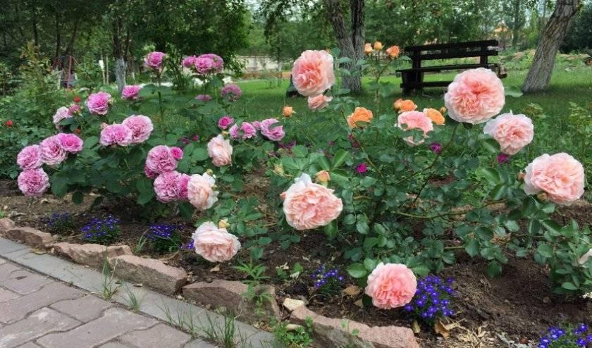 Можно ли пересаживать розы в августе. как и когда можно пересадить розы весной на другое место. пересадка кустов роз осенью: подробная инструкция