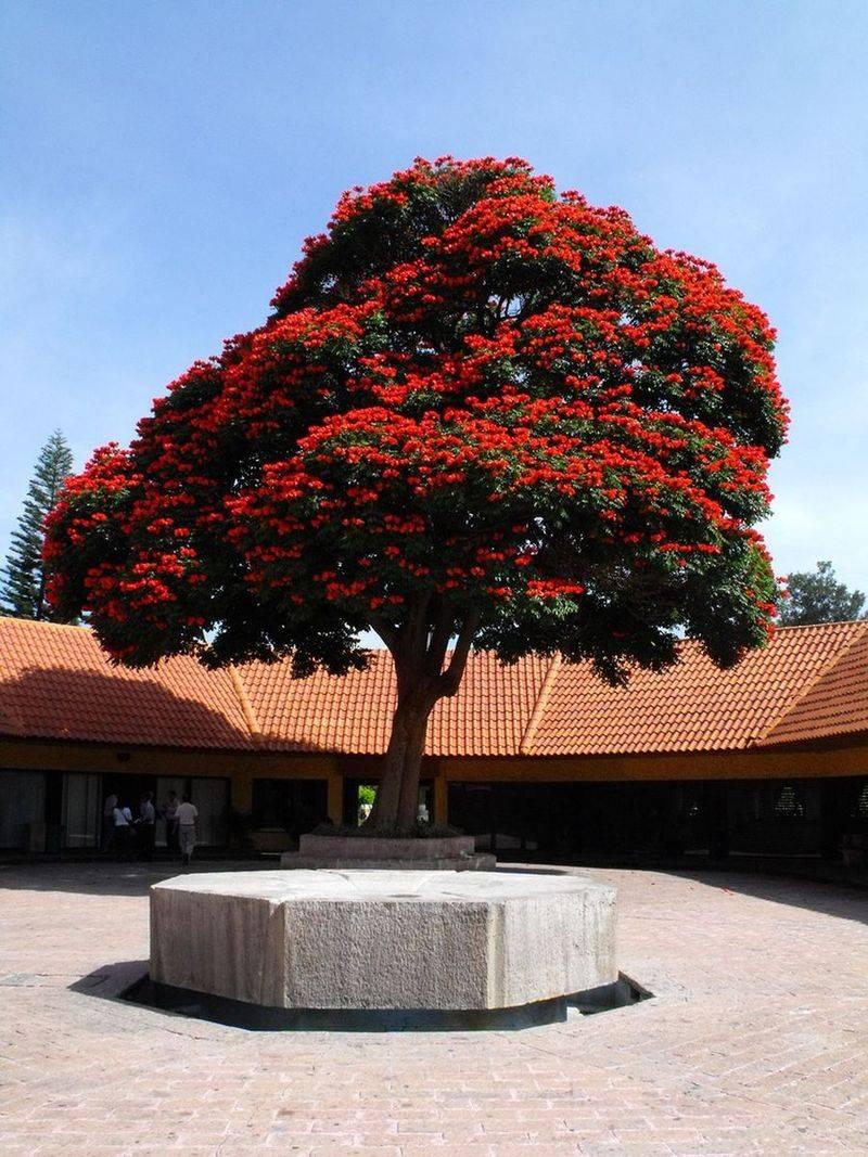 Лириодендрон (тюльпанное дерево)