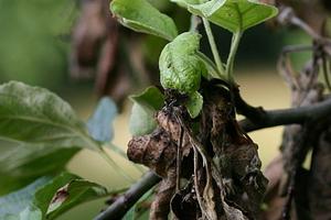 Когда появляются коричневые пятна на листьях яблони, что это за болезнь?