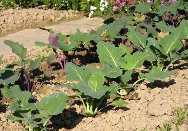 Этапы выращивания рассады кольраби и уход за ней