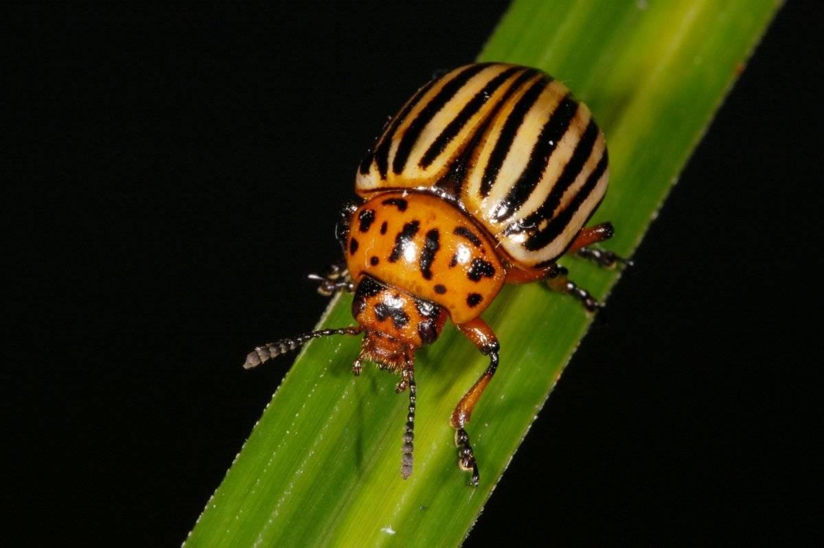 Как избавиться от колорадского жука с помощью горчицы и уксуса