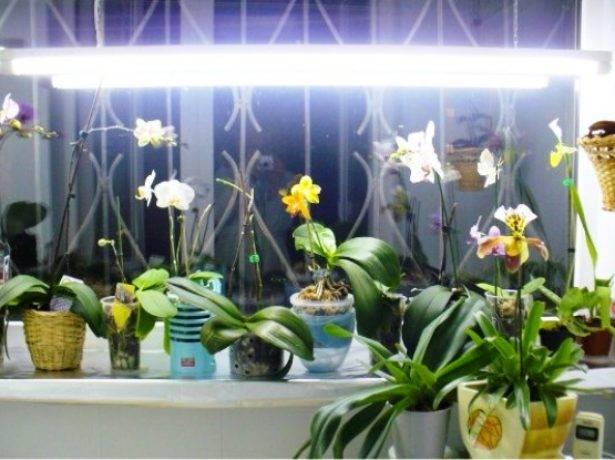 Причины вялых листьев орхидеи: как спасти цветок
