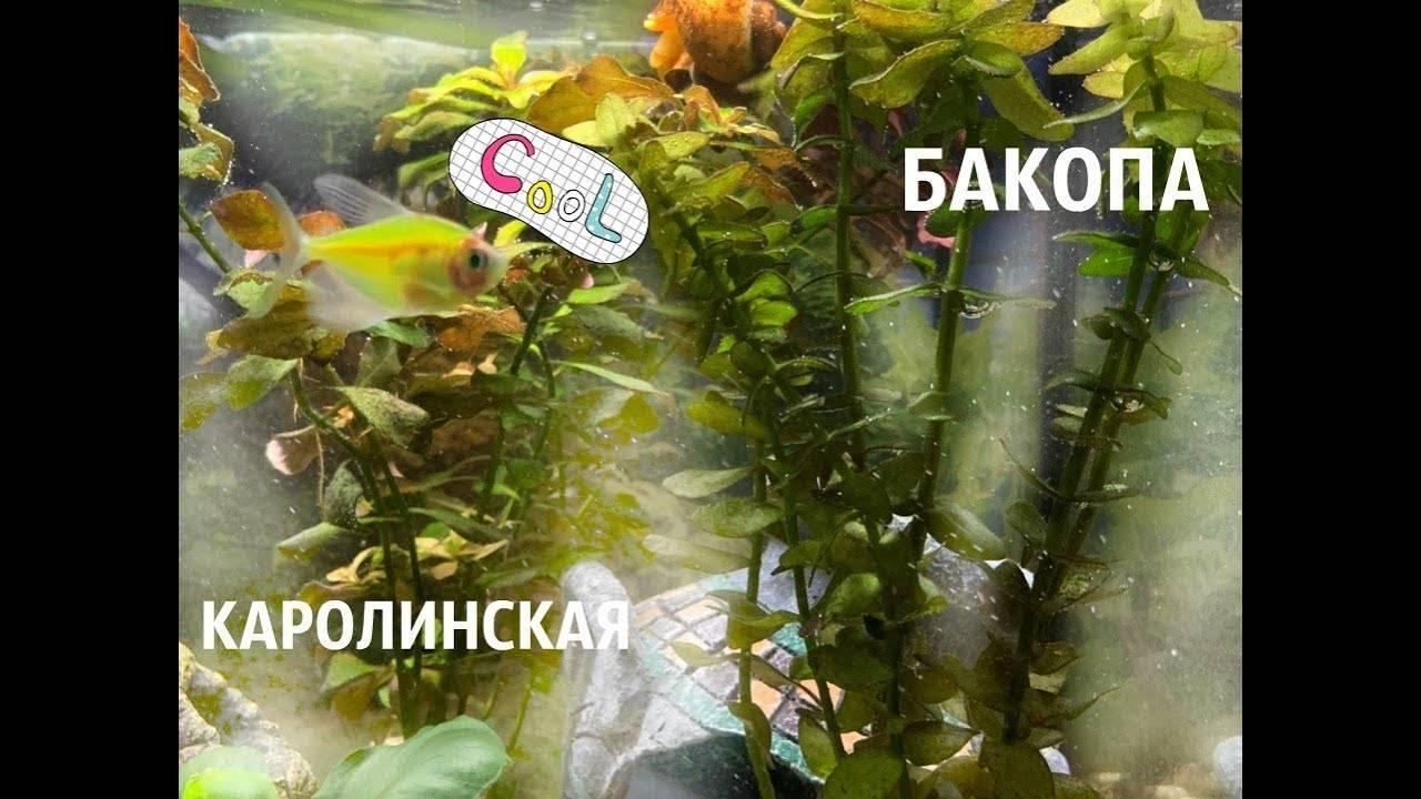 Бакопа: описание, разновидности, посадка и уход