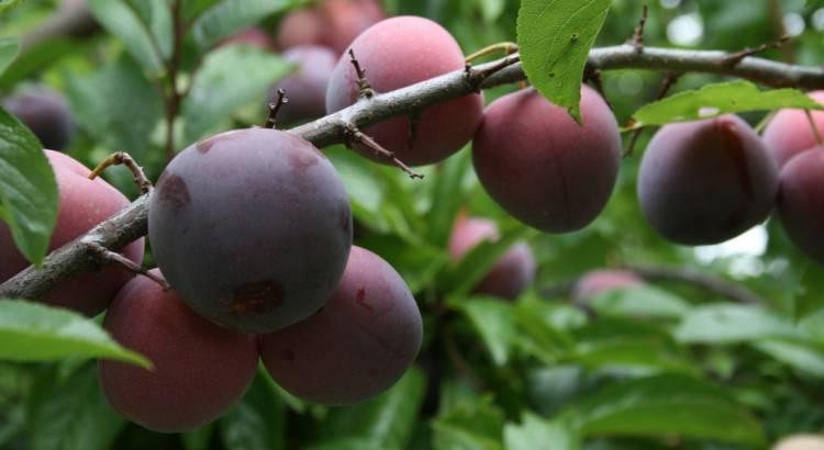 19 лучших самоплодных сортов сливы