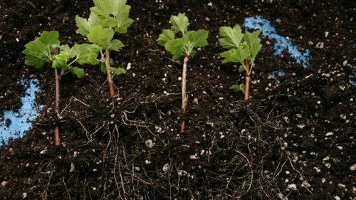 Размножение смородины черенками: технология, укоренение и хранение заготовленных черенков