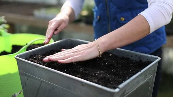 Любисток всходы. размножение делением куста. условия выращивания любистока