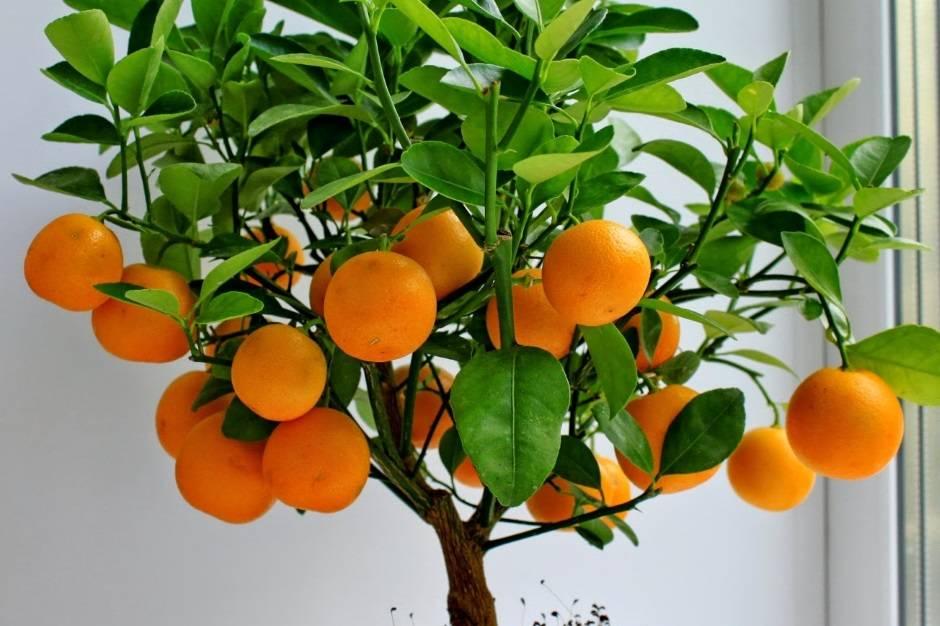 Витамины круглый год. можно ли вырастить лимон и как это правильно сделать?