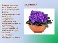 Секреты выращивания и цветения фиалок