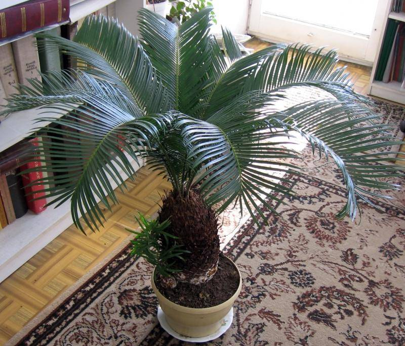 Саговая пальма цикас — уход в домашних условиях