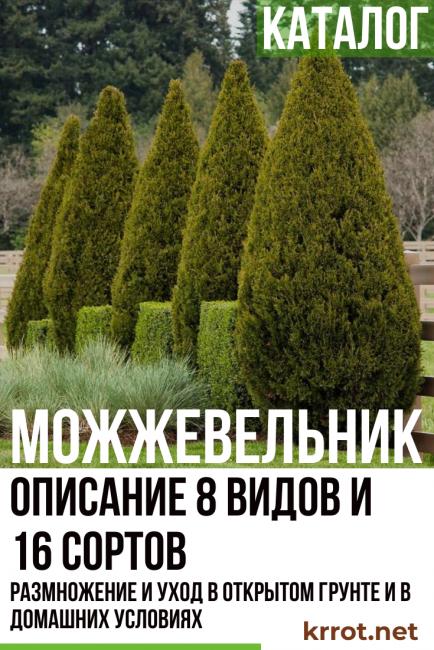 Самые популярные виды и сорта можжевельника (названия, фото, описания)