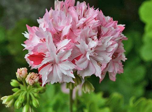 Звездочка на подоконнике — очаровательная пеларгония стеллар: описание с фото, посадка, размножение и уход