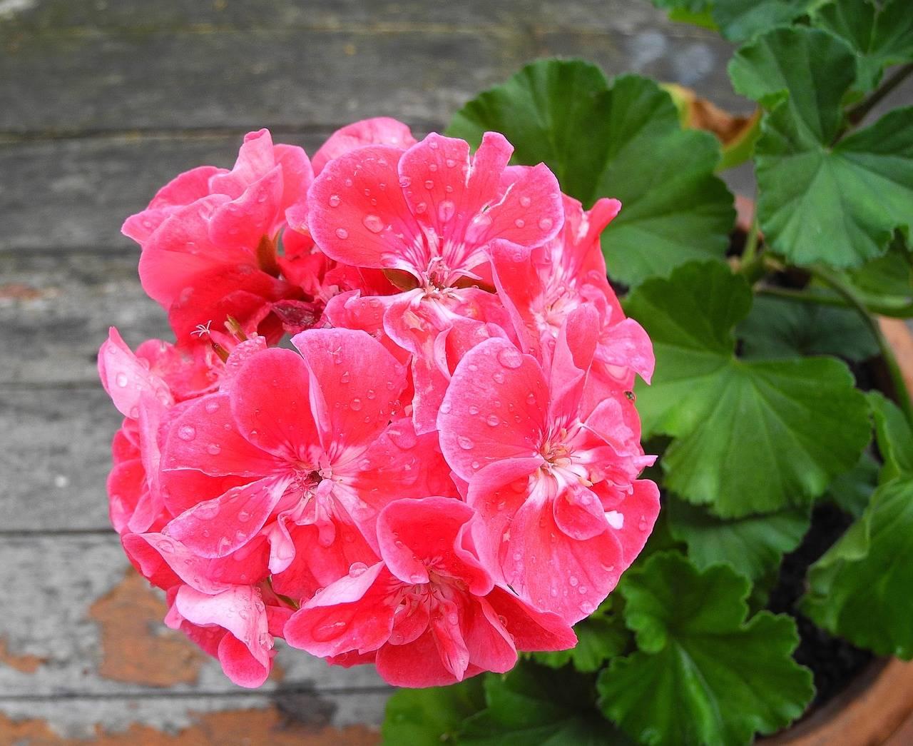 Герань тюльпановидная — описание и уход в домашних условиях