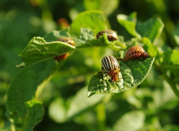 Горчица и уксус от колорадского жука – рецепт народного средства