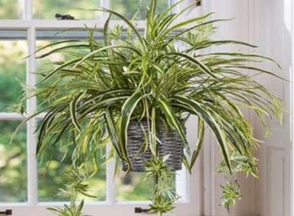 Растение хлорофитум его назначение