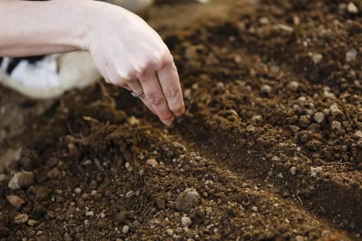 Выращивание амаранта из семян. когда сажать. размножение в 2020 году