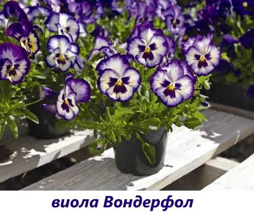 Виола виттрока: описание, сорта и выращивание
