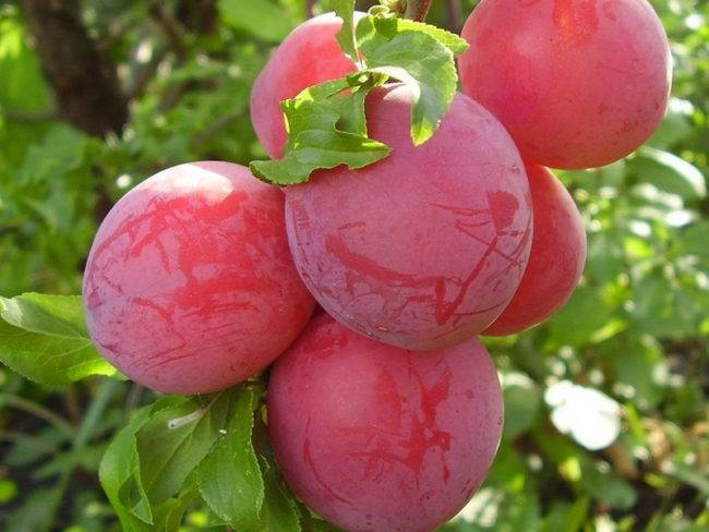 Фиолетовая вкуснятина: выбираем сорт сливы для подмосковья
