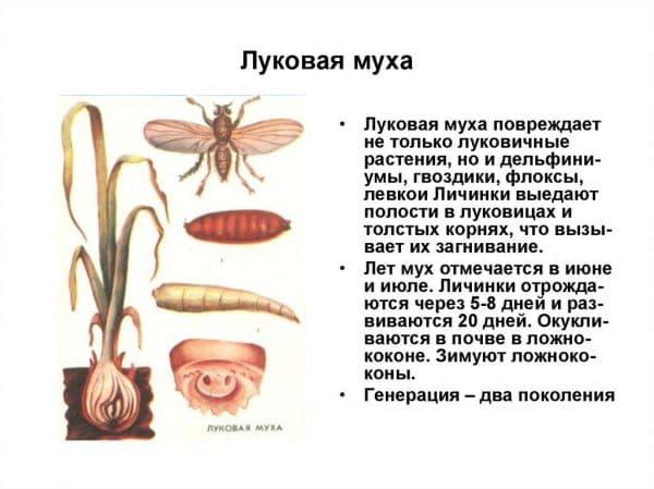 Луковая муха: как с ней бороться на огороде