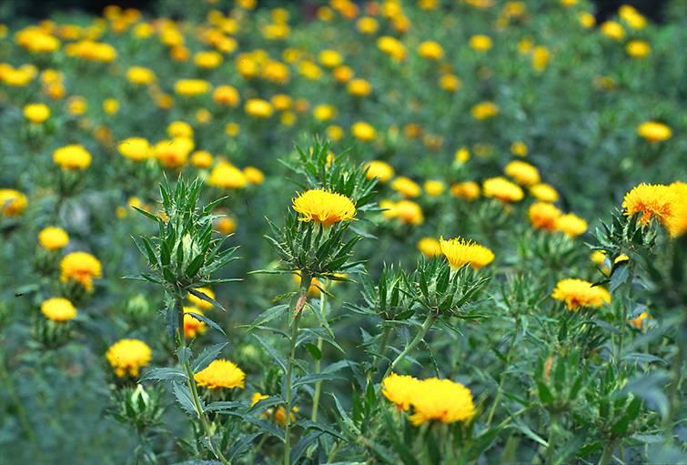 Культивирование сафлора как медоносного растения
