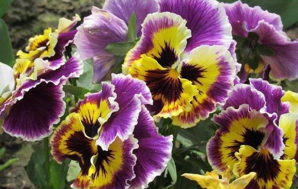 Виола ампельная или анютины глазки — выращивание и уход