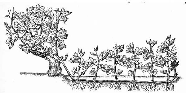 Размножение калины отводком: легкий путь успеха