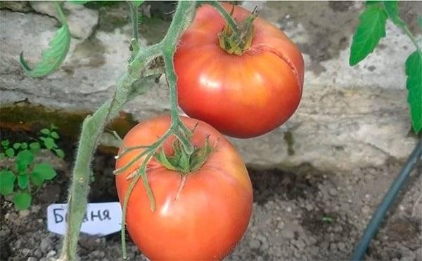 Сортовая характеристика томата батяня