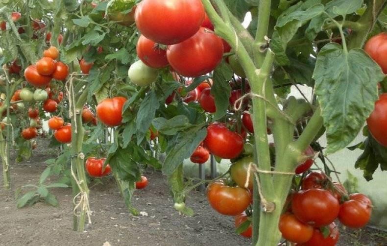 Характеристика и описание томата сорта «медовая капля»: фото, видео + отзывы