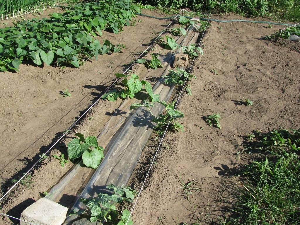 Как правильно подготовить рассаду дыни