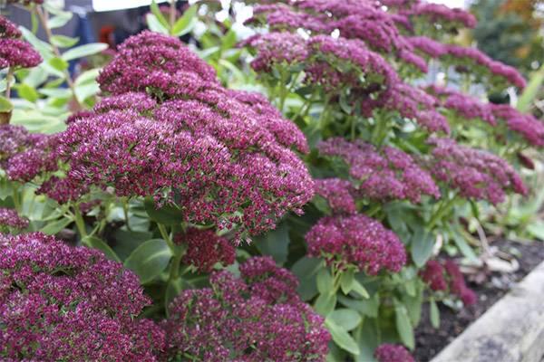 Применение в народной медицине очитка: свойства травы и ее противопоказания