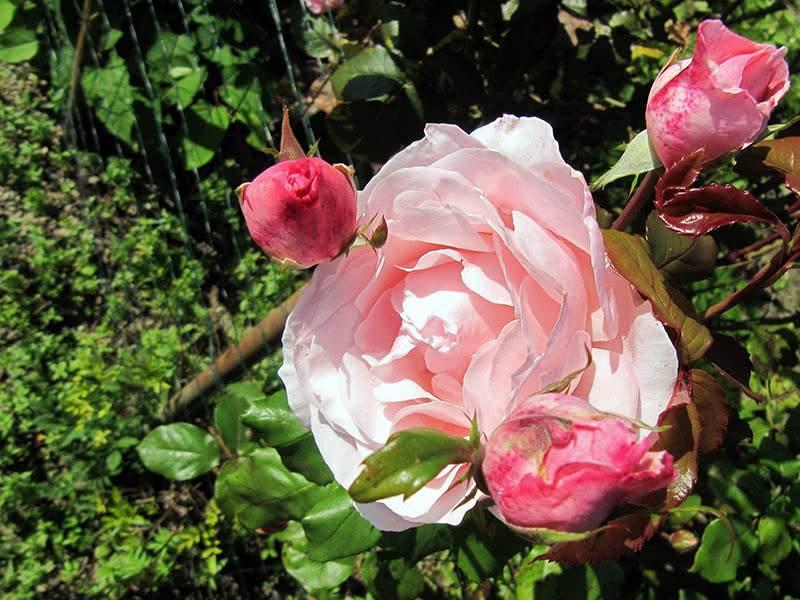 Подкормка роз: виды удобрений, сроки и правила внесения