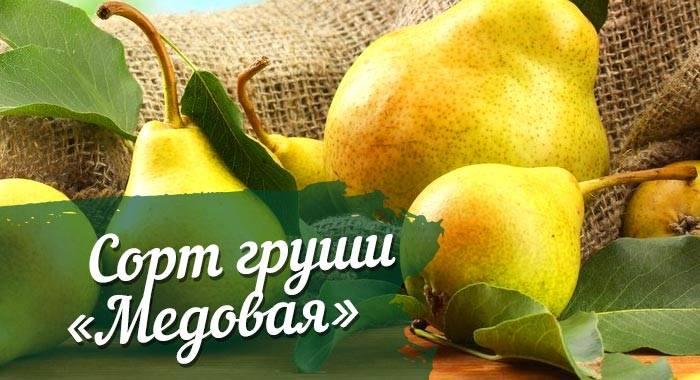 Груша москвичка – полная характеристика