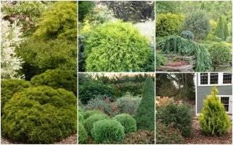 Туя: выращивание на дачном участке. секреты успешного выращивания туи: посадка, уход, болезни и вредители