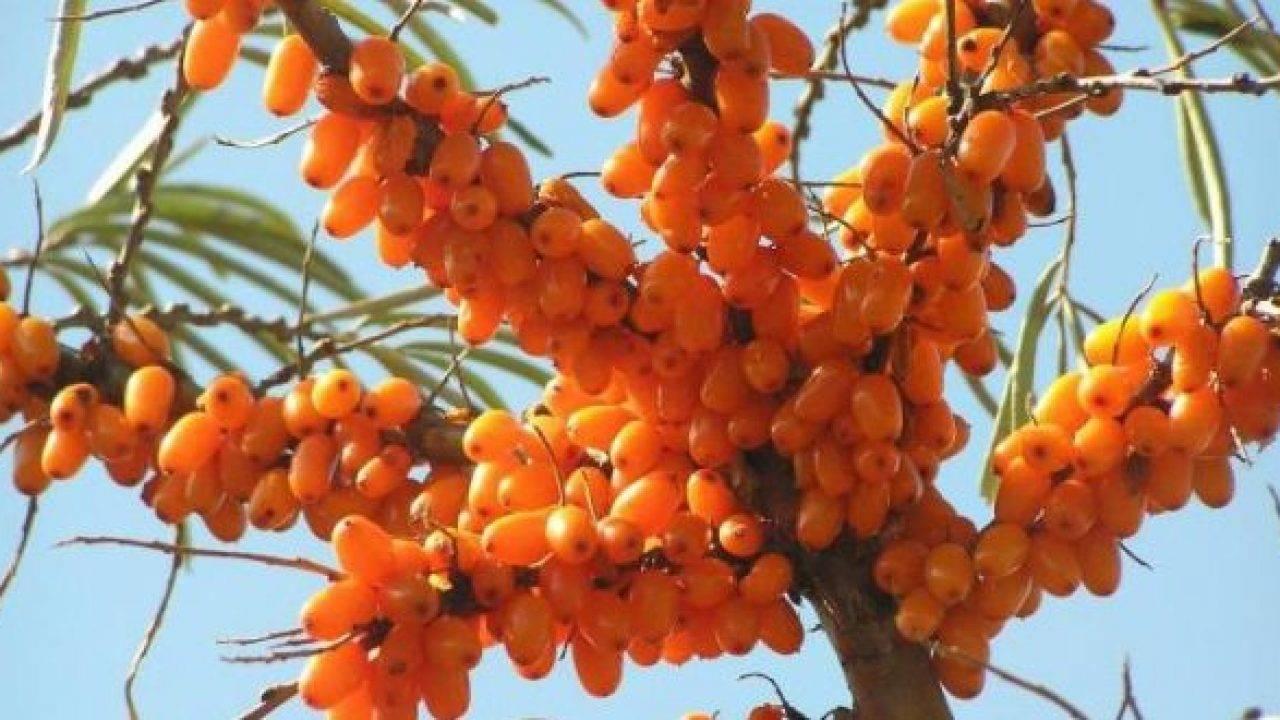 Урожайная и лечебная облепиха крушиновидная в вашем саду