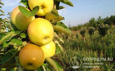 Яблоня из черенка корнесобственная