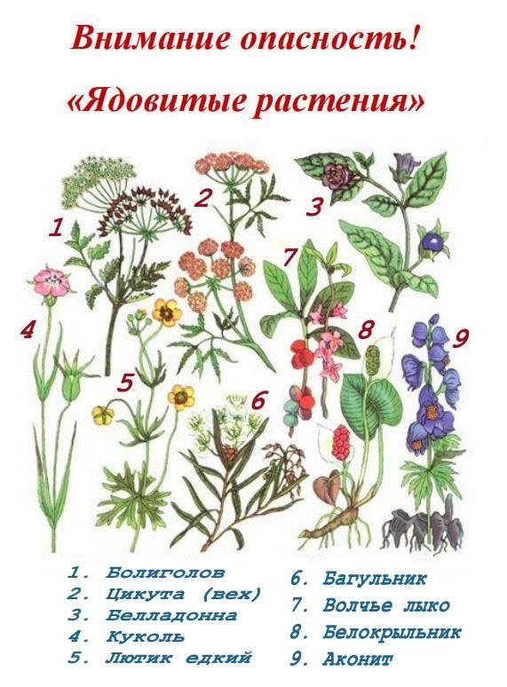 Список ядовитых ягод россии