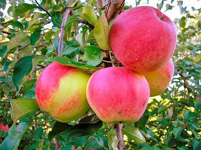 Сорт яблони уэлси — старый добрый друг