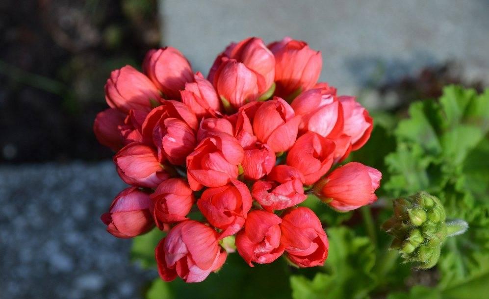 Виды тюльпановидной герани и правильный уход за прекрасным цветком