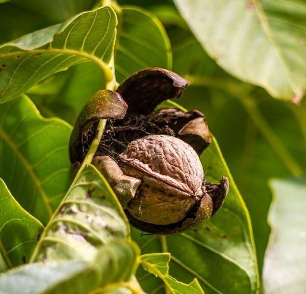 Как посадить грецкий орех на приусадебном участке