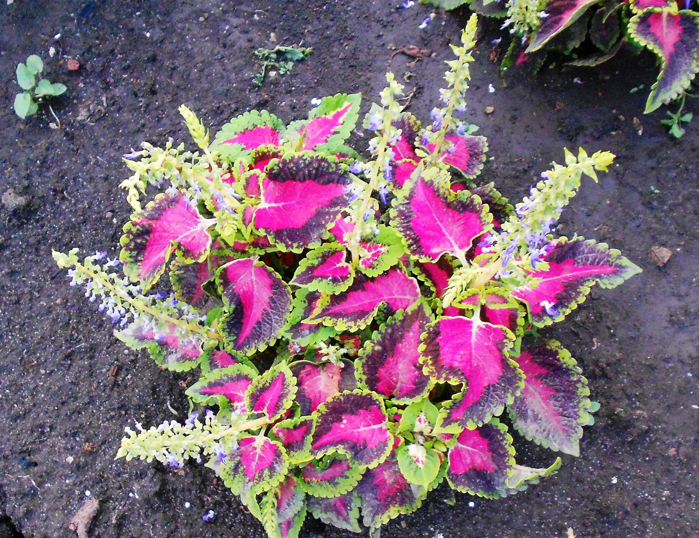 Выращиваем из семян колеус