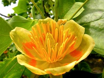 Лириодендрон тюльпанное дерево