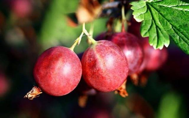 Выращивание крыжовника: от выбора сорта до сбора урожая