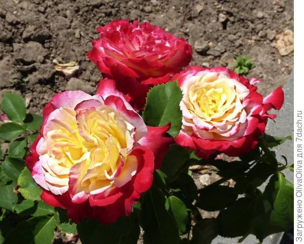 Double delight – эффектная чайно-гибридная роза из сша, окрашенная в контрастные белые и малиновые тона