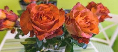 Как вырастить розу - способы и особенности